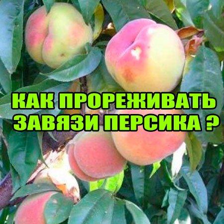 Как прореживать завязи персика (2015) WebRip